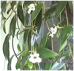Комнатные растения с кожистыми